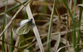 Picture grass, macro, butterfly, spring mood, the aporia Crataegi