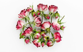 Picture white, background, roses, buds