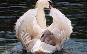 Picture white, swan, bird, water, lake, animal, pride, elegant, feather, noble, transport, swim, waters, plumage, cygnet, …