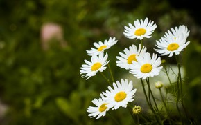Picture flowers, chamomile, picture flowers