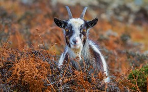 Picture autumn, grass, look, face, nature, smile, background, portrait, goat, goat, horns, happy, spotted, home, goat, …
