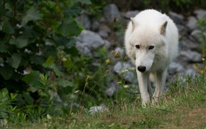 Picture greens, white, grass, look, leaves, nature, pose, stones, wolf, walk, zoo, sneaks, Arctic, polar
