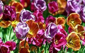 Picture petals, tulips, meadow, garden