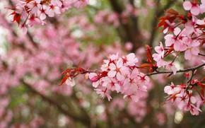 Picture flowers, branches, cherry, spring, garden, Sakura, pink, flowering, bokeh