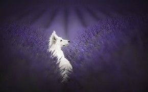 Picture nature, each, dog, lavender