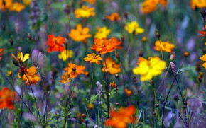 Picture field, flowers, bright, yellow, meadow, orange, a lot, cosmos, разыне