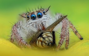 Picture eyes, macro, fly, background, spider, hunter, jumper, jumper, spider, jumping spider, членистоногое