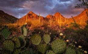 Picture landscape, sunset, mountains, nature, AZ, cacti, USA, Tucson Mountain Park
