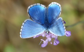 Picture flower, macro, background, lilac, butterfly, insect, blue, bokeh