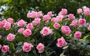 Picture flowers, roses, pink, a lot, rose Bush