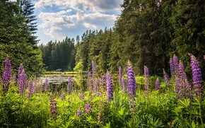 Picture greens, forest, summer, clouds, flowers, lake, pond, thickets, shore, ate, pine, house, pond, lilac, lupins