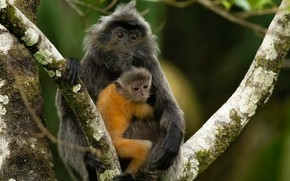 Picture nature, Silvery Lutung, Trachypithecus cristatus