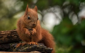 Picture nature, animal, protein, animal, rodent, seed, Tamas Hauk
