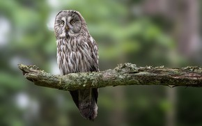 Picture bird, branch, great grey owl