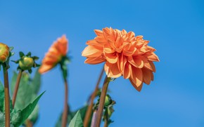 Picture the sky, flowering, Dahlia