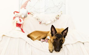 Picture holiday, toys, new year, Christmas, dog, gifts, shepherd, Malinois