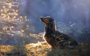 Picture nature, dog, morning, Dachshund, dog, bokeh, Svetlana Pisareva