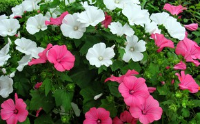 Picture summer, flowers, flowerbed