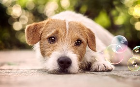 Picture road, eyes, look, asphalt, close-up, background, dog, baby, bubbles, puppy, lies, face, bokeh, Jack Russell …