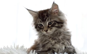 Picture fluffy, white background, kitty