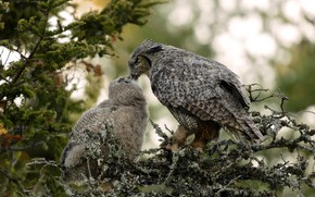 Picture birds, branches, owl, bird, two, needles, owl, owlet, owlet, feeding