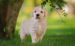 Picture white, grass, look, leaves, tree, lawn, glade, dog, branch, baby, muzzle, puppy, walk, Labrador, cutie, …