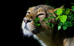 Picture greens, look, face, leaves, light, portrait, black background, lioness