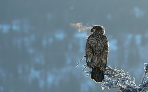 Picture winter, frost, look, bird, eagle, branch, breath, couples, eagle, needles, predatory