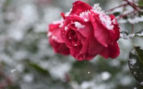 Picture snow, rose, Bud, bokeh