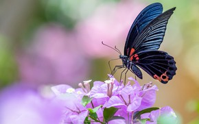 Picture macro, flowers, background, butterfly, black, insect, pink, bougainvillea
