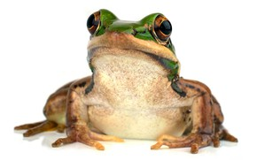 Picture look, background, frog, white background, green frog