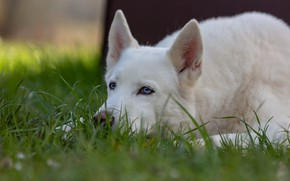 Picture grass, face, dog, white, ears, Husky
