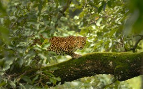 Picture Leopard, Trees, Leaves, Leopard, Trees, Leaves, Wildlife, Дикая Природа
