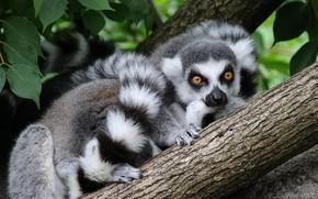Picture look, face, leaves, nature, pose, tree, tail, lemur, bark, lemurs
