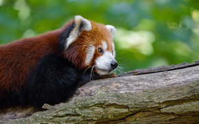 Picture face, pose, green, background, lies, profile, red Panda, bokeh, red Panda, coat