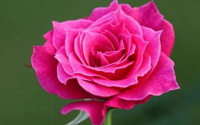 Picture close-up, background, pink, rose, petals, Bud