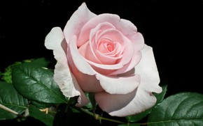 Picture close-up, pink rose, the leaves of roses