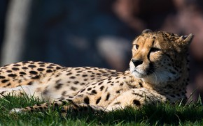 Picture look, pose, stay, Cheetah, lies, in the shadows