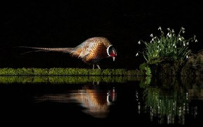 Picture flowers, pose, reflection, bird, shore, spring, snowdrops, black background, pond, pheasant