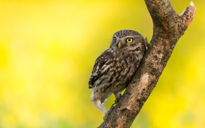 Picture owl, bird, branch, yellow background, owl, sychik