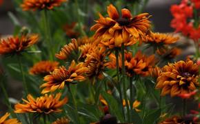 Picture petals, Rudbeckia, macro