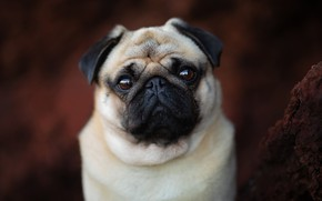 Picture look, background, portrait, dog, face, doggie, Pug