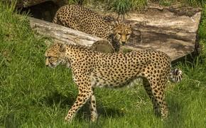 Picture grass, nature, cheetahs