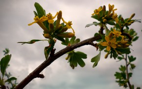Picture the evening, blooms, currants, April
