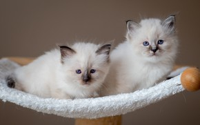 Picture look, cats, pose, kittens, white, a couple, Duo, two, faces, two kittens, bench, ragdoll