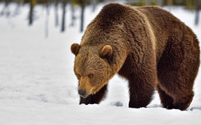 Picture winter, snow, nature, bear, the snow, walk