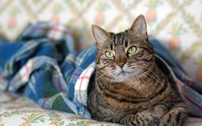 Picture cat, cat, look, face, pose, comfort, grey, wall, portrait, bed, lies, plaid, striped, green eyes, …
