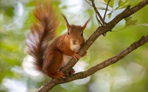 Picture branches, nature, pose, tree, protein, red, rodent