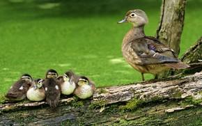 Picture summer, look, birds, nature, bird, duck, log, kids, ducklings, duck, Chicks, green background, birds, mother, ...