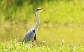 Picture greens, bird, Heron